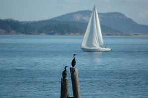 Cormorants and Sailboats